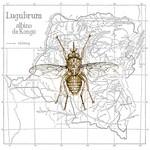 LP_lugubrum_albino